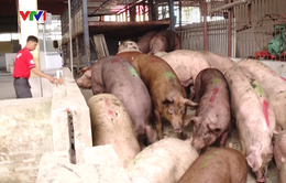 Giá bán lẻ thịt lợn giảm sau nỗ lực giải cứu