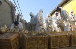 Hàn Quốc cảnh báo về cúm gia cầm