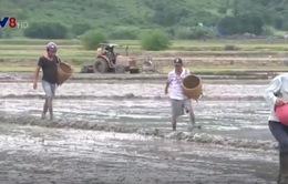Gia tăng chi phí do tập quán gieo sạ trên cánh đồng miền Trung