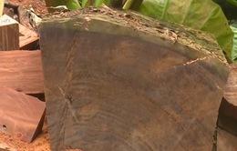 Thủ đoạn mới của lâm tặc ở Vườn quốc gia Ba Bể