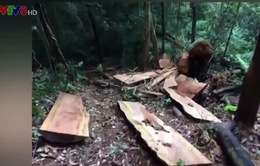 Phát hiện nhiều vụ khai thác gỗ trái phép tại khu rừng xã A Xing, Quảng Trị