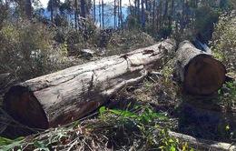 Huyện Chư Pah (Gia Lai) kiên quyết xử lý vụ khai thác gỗ trái phép tại Chư Đang Ya