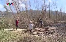 Hà Tĩnh kêu gọi doanh nghiệp thu mua cây lâm nghiệp đổ ngã sau bão