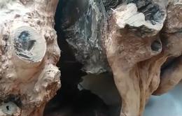 Khai thác gỗ trái phép trong Vườn Quốc gia Phong Nha - Kẻ Bàng
