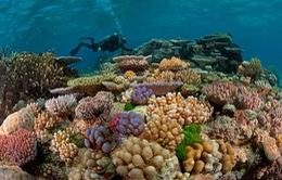 Rạn san hô lớn nhất thế giới đối mặt nguy cơ bị xóa sổ vĩnh viễn