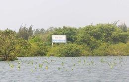 Rừng ngập mặn phá Tam Giang bảo vệ vùng nuôi trồng thủy sản trong lũ