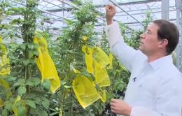 Hà Lan phát triển giống khoai tây kháng bệnh