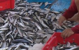 Một mẫu hải sản ở tầng đáy vùng biển huyện Kỳ Anh có chất phenol