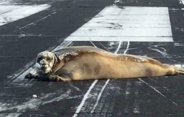 Mỹ: Hải cẩu nằm trên đường băng, sân bay phải tạm ngừng hoạt động