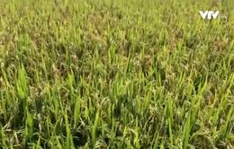 Hơn 8.000 ha lúa ở Hà Tĩnh bị lép hạt