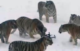 VIDEO cuộc đua giữa hổ Siberia và máy bay không người lái tại Trung Quốc