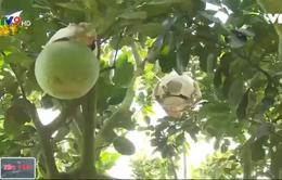 Thăm gia đình nông dân trồng bưởi tạo hình bán Tết
