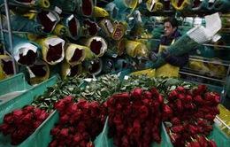 Colombia xuất khẩu 500 triệu cành hoa sang Mỹ dịp Valentine