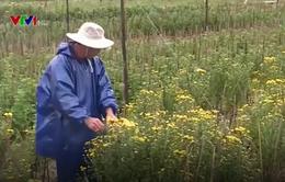 TT-Huế: Thiếu hoa và rau dịp Tết