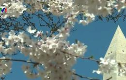 Mùa hoa anh đào muộn ở Washington D.C, Mỹ