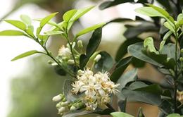 Hà Nội thơm dịu mát cùng sắc trắng tinh khôi của hoa bưởi