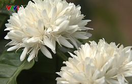 Chiêm ngưỡng vẻ đẹp tinh khôi của hoa cà phê