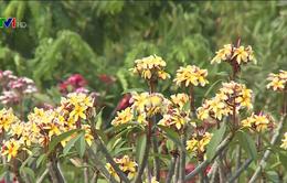 Độc đáo vườn hoa Champa lớn nhất tại Lào