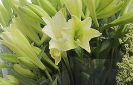 Hà Nội tràn ngập sắc trắng tinh khôi của hoa loa kèn