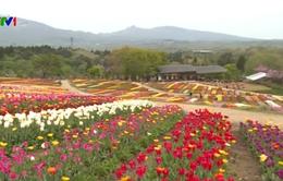 Du khách nô nức tới Lễ hội hoa tulip ở Nhật Bản