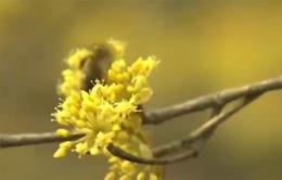 Sắc hoa Sơn thù du vàng óng làng quê Hàn Quốc