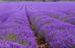 Chiêm ngưỡng cánh đồng hoa tím đầy quyến rũ