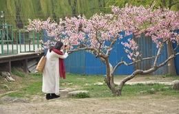 Tour du lịch nở rộ mùa hoa anh đào ở Trung Quốc