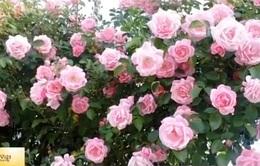 Lễ hội hoa hồng lớn nhất sắp diễn ra tại Hà Nội