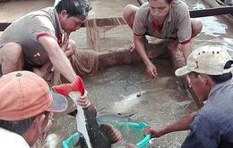 Lão nông miền Tây nuôi cá Hồng Vỹ quý hiếm