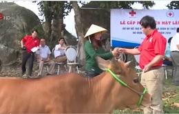 Hỗ trợ bò cho các gia đình bị thiệt hại do mưa lũ tại Hà Tĩnh