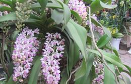Du xuân - ngắm hoa và phong lan khủng chợ Vạn Phúc