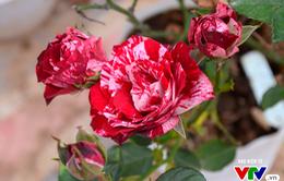 """Thăm vườn hồng châu Âu đẹp """"mê hồn"""" giữa lòng Hà Nội"""