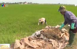 Làng trồng thành công lúa hữu cơ