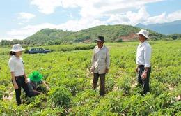 Diện tích trồng sắn ở Tây Nguyên vượt xa quy hoạch