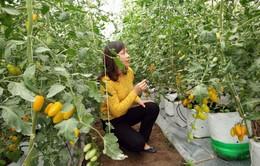 Thơm ngọt cà chua trái cây tại trang trại Happy Farm, Lâm Đồng