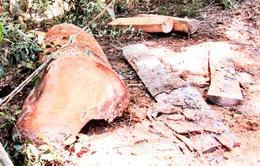 Có thể khởi tố vụ phá rừng phòng hộ Khánh Phú, Khánh Hòa