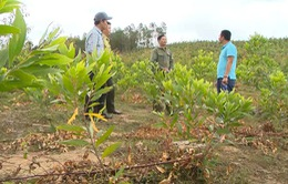 Chưa thể thu hồi đất rừng bị lấn chiếm ở Tây Nguyên