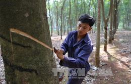 Không mở rộng diện tích cây cao su ở các tỉnh Tây Nguyên