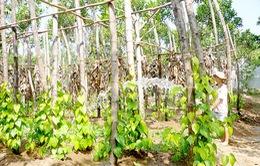 Gìn giữ nét văn hóa truyền thống Việt với những vườn trầu cau