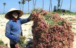 Nông dân Lý Sơn tất bật vào mùa thu hoạch tỏi