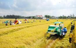 Quảng Ngãi: Xây dựng 59 cánh đồng mẫu lớn