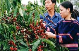 Tây Nguyên - Vùng sản xuất nông sản hàng hóa