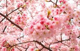 Người Hà Nội sắp được ngắm 20 cây hoa anh đào thật bên hồ Gươm