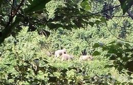 KHẨN CẤP: Yêu cầu không tập trung xem, quay phim, xua đuổi đàn voi rừng ở Quảng Nam