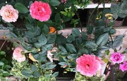 Hà Nội có trang trại hoa hồng 300 loài, mở cửa miễn phí