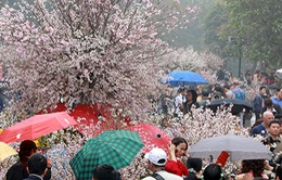 Người dân đội mưa ngắm hoa anh đào, vẫn còn chen lấn làm đổ bình hoa