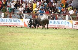 Lễ hội chọi trâu Đồ Sơn sẽ bỏ vòng đấu loại, chỉ tổ chức vòng chung kết