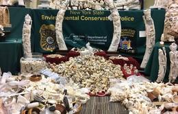 Thành phố New York (Mỹ) cho nghiền 2 tấn ngà voi