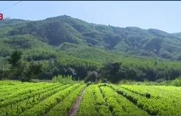 Nông dân Nam Trung Bộ ồ ạt trồng keo