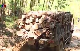 Vì sao tồn tại con đường khai thác gỗ tại Khánh Hòa?
